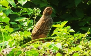 Jungle Bush Quail, Chhamla, Morni Hills