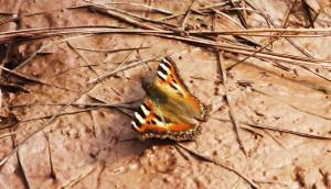 Small-tortoiseshell Butterfly, Karoh Peak, Morni-Tipra Hills (September 2014)
