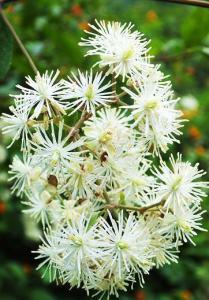 Flower clusters of Clematis grata, Diyothi, Bhoj Darara (September)