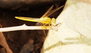 Golden Dragonfly,  Berwala choe, Morni Hills (August)