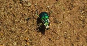 Six-spotted Green Tiger Beetle, Berwala choe, Morni hills (August)