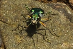 Six-spotted Green Tiger Beetle, Berwala choe, Morni hills (August)- ferocious look
