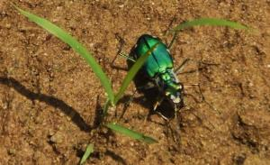 Six-spotted Green Tiger Beetle, Berwala choe, Morni hills (August)- six white spots