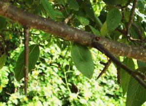 Thorns of Himalayan Pear