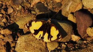 Yellow Pansy (Female) Butterfly, Berwala choe, Morni hills (November)