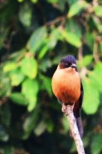 Flycatcher, Binsar (Photo courtesy the Musafir)