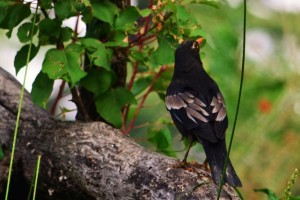 Grey-winged Blackbird, Binsar (Photo courtesy the Musafir)