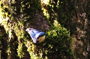 Nuthatch, Binsar (Photo courtesy the Musafir)