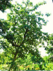 Bahera Tree