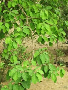 Bahera leaves (July)