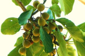Bahera nuts (November)
